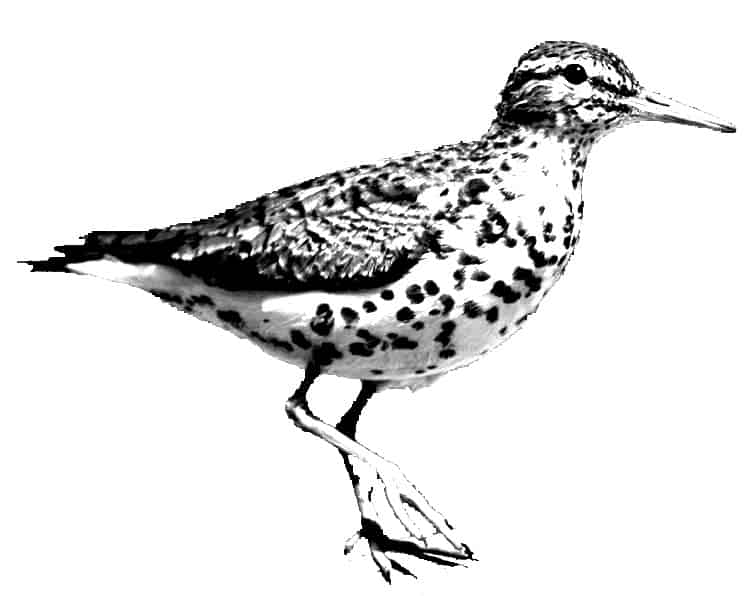 The Spotted Sandpiper